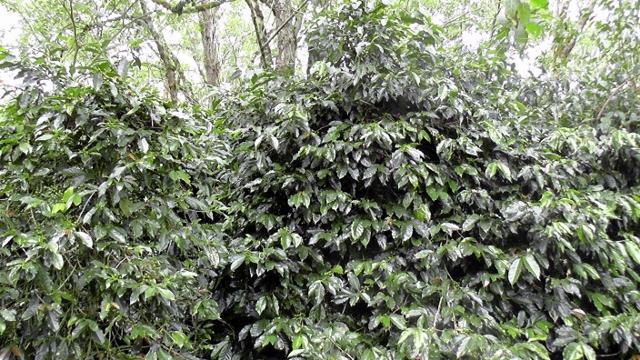 豊かに枝を伸ばすコーヒーの木