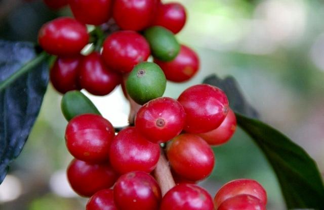 収穫直前のコーヒーチェリー