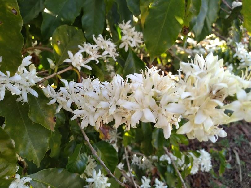 コーヒーの木の開花