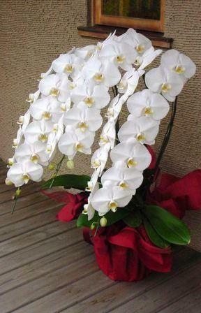 愛興洋蘭園トップレベルのボリュームと品質