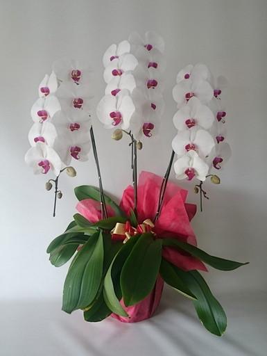 開店祝いなどのお祝いを印象的に演出する白赤3本立です。花の色が紅白なのでお祝い用の贈り物に適しています。花の数は32輪前後、高さは85㎝ほど。