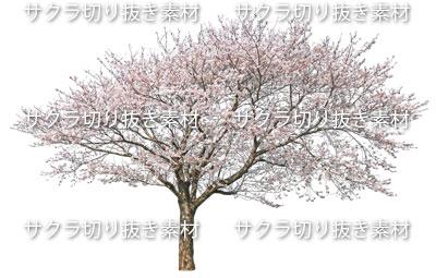 <b>画像サイズ</b><br>     1200 × 766 pixel<br>  <br>  <br>     <b>ファイル容量</b><br>     1.53MB<br>  <br>  <br>     <b>ファイル形式</b><br>     PNGファイル<br>  <br>  <br>    <br>      桜切り抜き素材。Photoshopなどのソフトで開くことができます。バックは透明。<br>    <br>  <br>