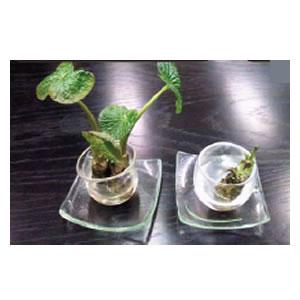 左が自慢の最高級フルボ酸+水、右が水のみで、同じ植物の株を約1ヶ月浸した結果。フルボ酸が入っている植物は活き活きしています。