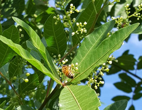 コショウの花の蜜を集める蜜蜂