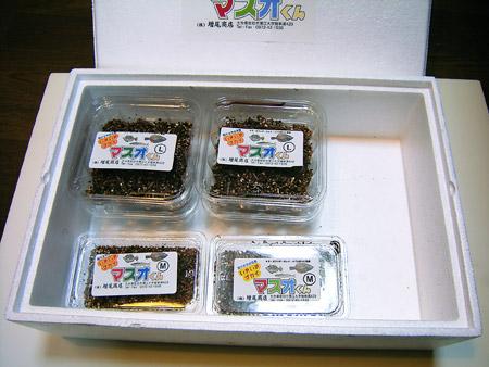 関連写真-いきいきゴカイ マスオくん-6000円セット