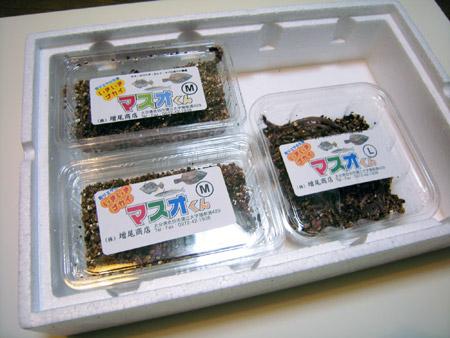関連写真-いきいきゴカイ マスオくん-3000円セット