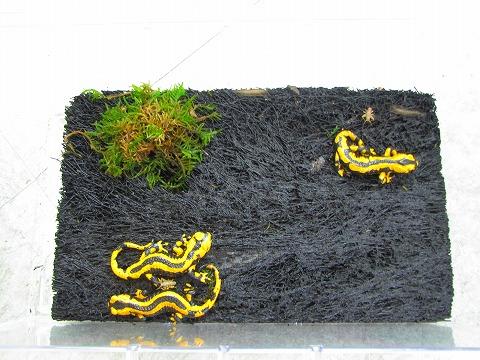 サラマンダー・カエルの床敷にオススメ