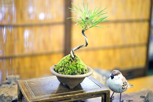 撮影日H24/10/27  樹高14cm  幅10cm  三河黒松(みかわくろまつ) 【模様木】(もようぎ)  幹が左右に曲線を描くように曲がっている樹形を模様木と呼びます。  雄雄しく、別名、雄松と呼ばれています。  松は長寿を象徴する縁起の良い木として有名です。  縁起が良く、強健で育てやすく、樹・鉢ともに立派な黒松は、大切な方への贈物としても適しています。