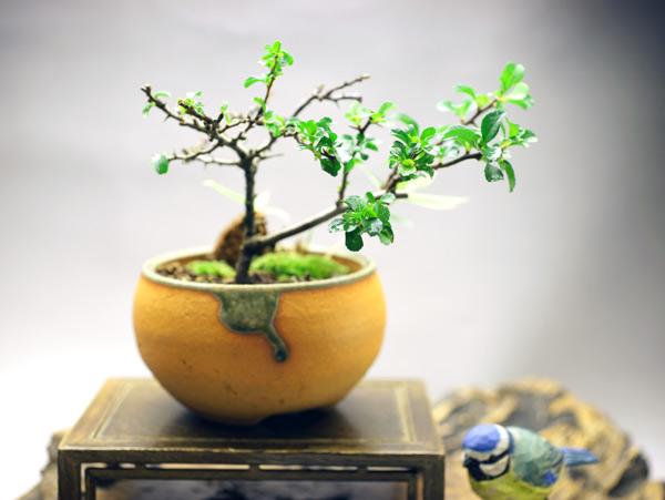 撮影日24/10/12  樹高12cm 幅21cm  長寿梅(ちょうじゅばい)は名前の通り「とても縁起が良い」とされ、贈り物として大変人気がある盆栽です。  基本的には春に多くの花を咲かせるのですが、四季咲き性が強いため年に数回、花を咲かせることもあります。  笹は繁殖力が強いため、古来より「子孫繁栄」に縁起がよい植物とされていきました。縞笹(シマザサ)は名前のとおり葉に縞がくっきりと入っています。