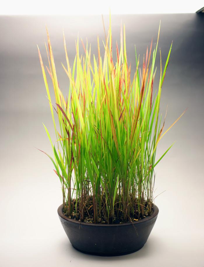 撮影日H24/7/6  樹高42cm 幅25cm  ベニチガヤ(紅茅・紅茅萱)  真っ直ぐに伸びる線の美しい一鉢です。 春の新芽はさわやかで、秋には名のとおり、葉に紅色が現れます。 冬は地上部は枯れます。