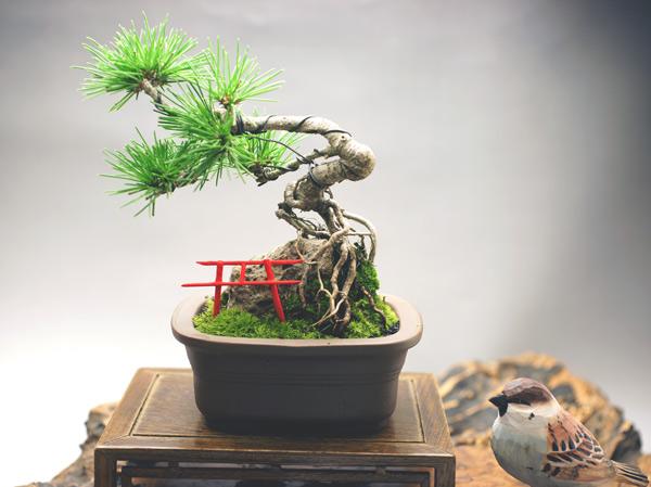 撮影日H24/10/12  樹高15cm 幅15cm