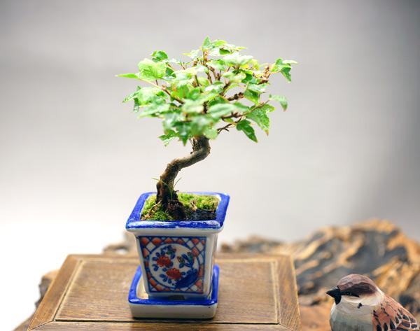 撮影日H24/10/12  樹高10cm 幅12cm  カエデ(楓) 【実生】(みしょう)  秋のカエデのようすは、燃えたつような綺麗な「紅」で自身の存在を主張しているようです。また、春の新緑も非常に美しく、目だけでなく心の中までリフレッシュしてくれます。   実生 種子から芽を出して生長すること、あるいは種子から育てること。種子から育った苗を実生苗という。