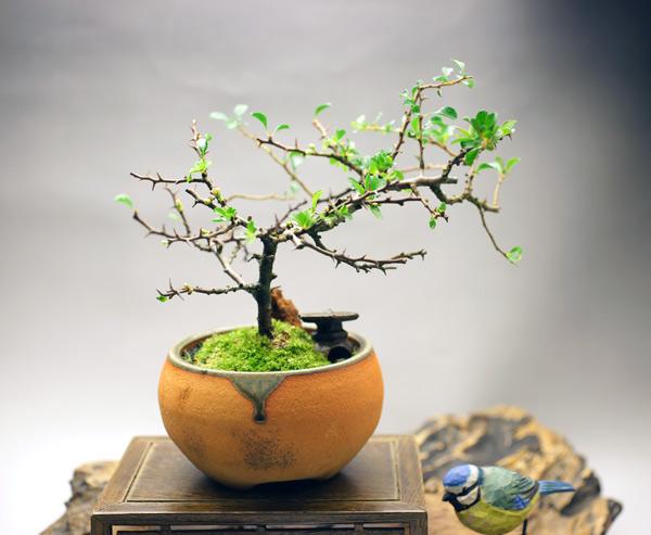 撮影日24/10/12  樹高16cm 幅26cm  ★ 花芽が沢山付いています。  プレゼントにおすすめです!   長寿梅(ちょうじゅばい)は、名前の通り「とても縁起が良い」とされ、贈り物として大変人気がある盆栽です。  四季咲きで年に数回、花を咲かせます。