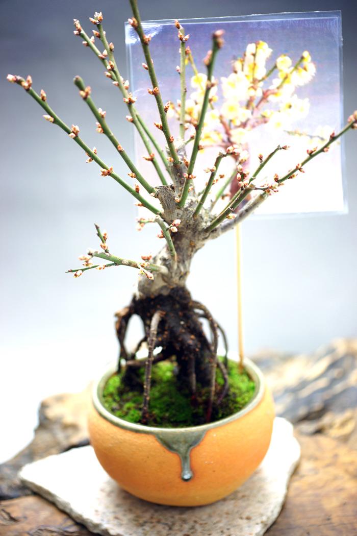 樹高 28 cm 幅 22 cm   *梅は、紅梅と白梅(貴山白)どちらかお選び出来ます。備考欄に色の記載を指定してください。 桜よりも一足先に花を咲かせる梅は、落ち着いた雰囲気の品がある盆栽です。   紅梅と白梅は雰囲気だけでなく香りも大きく異なります。香りも優雅な紅梅に対して、白梅は甘く優しい香りがします。  貴山白(きざんはく) 白梅は清純で控えめな印象です。甘く優しい香りがします。   梅は別名「春告草(はるつげぐさ)」と呼ばれています。桜よりも気温の変化を敏感に感じとって花を咲かせるのです。   春の訪れを芳しい花の香りで知らせてくれます。