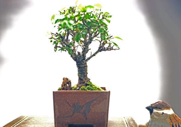 撮影日24/10/12  樹高12cm 幅11cm  ニレケヤキ(楡欅)  別名を「アキニレ」  ニレケヤキといえば、新芽のようすが美しいのが特徴ですが、すっかり葉を落としてしまった冬でも、その迫力のある樹姿には見応えがあります。