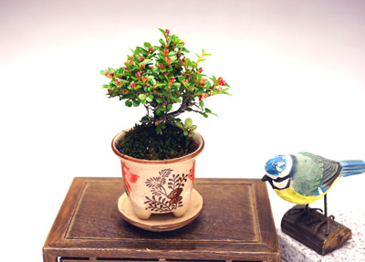撮影日h24/5/19  樹高8cm 幅9cm  濃緑の葉の隙間から可愛らしいピンクの小花を覗かせ、花後には緑の実をつけます。 秋から冬にかけては緑の実が赤く熟し、葉っぱも紅葉します。  同じ金魚柄ですが、丸鉢が六角鉢になる場合があります。