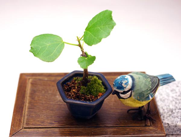 撮影日H24/6/24  樹高10cm 幅10cm  ハマボウ(浜朴あるいは黄槿)  葉がかわいらしく、黄色の花が咲き、紅葉も楽しめます!   葉は白・緑・赤と変化し、秋になると落葉し棒のような幹と枝だけになります。小さな鉢の中で、季節感が味わえます。  葵(アオイ)科・フヨウ属。 浜に生える朴の木(ほおの木)から「はまぼう」、漢字では「浜朴」、「黄槿」と書きます。
