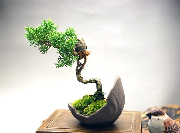 撮影日H24/10/12  樹高14cm 幅15cm