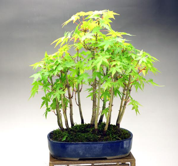 撮影日H24/5/1  樹高27cm 幅27cm  モミジと言えば赤ちゃんの手ひらのような葉っぱが可愛らしい、馴染みのある樹木です。そして、なんと言っても紅葉の美しさが最大の魅力です。  定番のもみじ盆栽。和の雰囲気満載です。