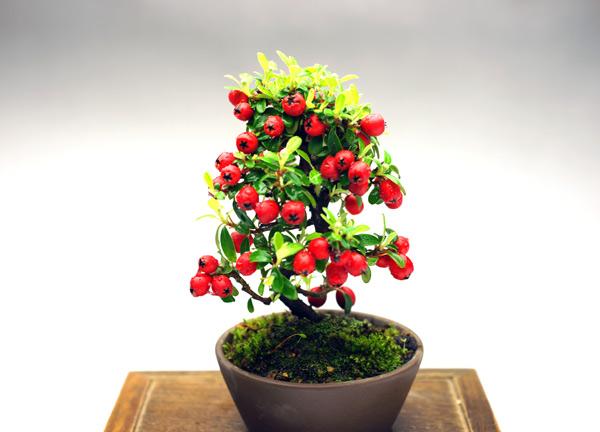 大粒の赤い実が美しい!(写真をクリックすると拡大します。)