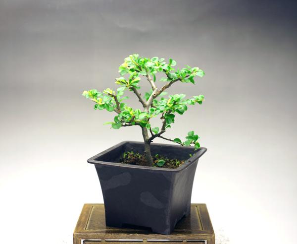 樹高13cm 幅17cm  白長寿梅(しろちょうじゅばい)  良く似合う陶器の鉢に植え替えてお届けします。  年に2~3回白い花が楽しめます。  贈り物 人気NO.1です。  名前どおり、縁起のいい植物として知られ、人気があります。名に梅とありますが、木瓜の一種で、白の花をつけます。