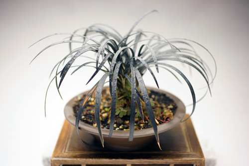 撮影日 H24/4/下旬  樹高11cm  ジャノヒゲは漢字で書くと「蛇の髭」で、細長い葉姿に由来するとされます。属名のオフィオポゴンはギリシア語のオフィス(ヘビ)とポゴン(ヒゲ)からなり、和名から来ています。   オオバジャノヒゲの品種コクリュウ(黒竜は葉が濃い黒色になります。