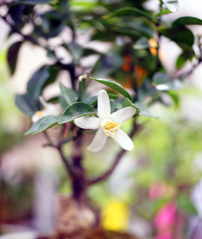 みかんの花が咲きました。H24.5.1