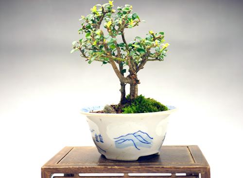 撮影日 H24/4/28  樹高13cm:幅12cm  光沢がある楕円形の葉が特徴で、葉が小さいため密になります。 6月に小さな白い花が咲き、10月ごろに黒い小さな実がなります。  同樹種の普通種に比べ、枝葉が小さく詰まってできる品種を八ッ房性と呼ぶ。 小さい寸法で大樹の相を表す盆栽に非常に適した品種である。 自然交配による実生変化や突然変異、または枝変わり品種を接ぎ木や挿し木で繁殖させたもの。