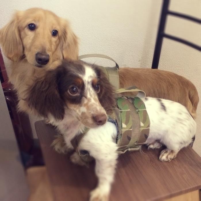 <br />犬好き必見!<br />プレキャリ風のハーネスです♪<br /><br />お腹と肩のベルクロでサイズ調整が可能です☆<br />ぴったり着せれば、脱げないので、お散歩も安全です。<br />首元にリングがついているので、リードも付けられます。<br />背中のベルトで、抱っこも楽々。<br />胸元にはパッチが付けられるようにベルクロが施されております。