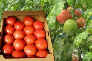 有機JASトマトは、スタッフが丁寧に育てています。