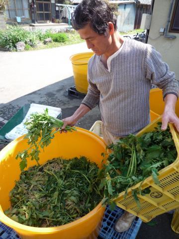 澤村代表自らが調合する天恵緑汁のおかげで、元気なトマトが育ちます。