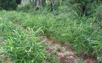 有機JASの承認を受けた畑で育った有機栽培生姜を使用しています。