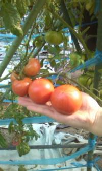 希少な塩トマトは、スタッフ一同で大切に育てています。
