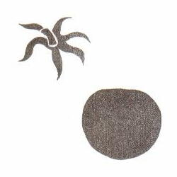 ハートトマト(小) 約1.9cm×1.7cm ヘタ約1.8cm×1.5cm