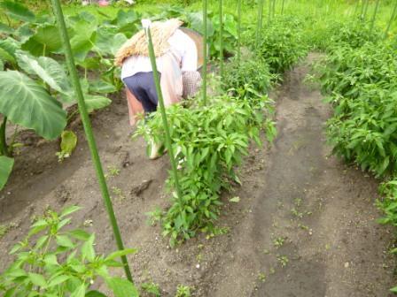 当館の畑でとれるあじめこしょうは「飛騨・美濃伝統野菜」として認証されています。