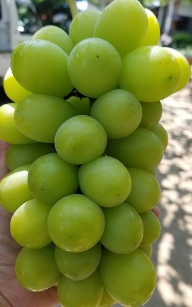 程よい甘みとくせになる食感の皮ごと食べられる大人気の葡萄です。日にち指定はご遠慮下さいませ。