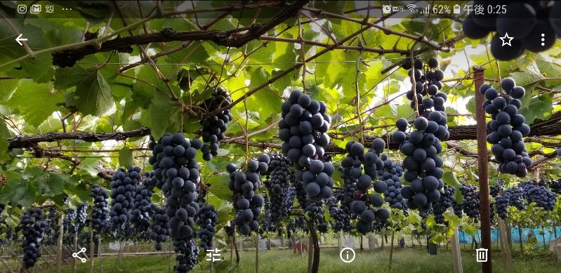 糖度が高く、酸味も適当で食味が濃い葡萄です。生食には完熟を待って。赤ワインの原料です。