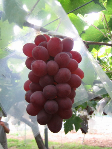 明るい鮮紅色で美味しい。果皮の一部をむいてたべるといいです。葡萄のお姫様と言われ、病気に弱く管理に手がかかります。山梨を代表する高級種