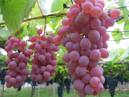 紫紅色で果粉が多く、独特の色沢を持ちます。酸味が適度で渋みも若干あり、葡萄農家には一番人気