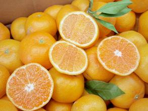 有明海の潮風にあたり、美味しい太良みかんを10月から12月までお届け出来ます。<br><br>販売元:竹下柑橘園<br>