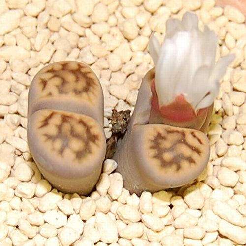 Lithops karasmontana ssp. bella C285 2H ヘッド幅1.7cm<花紋玉系>