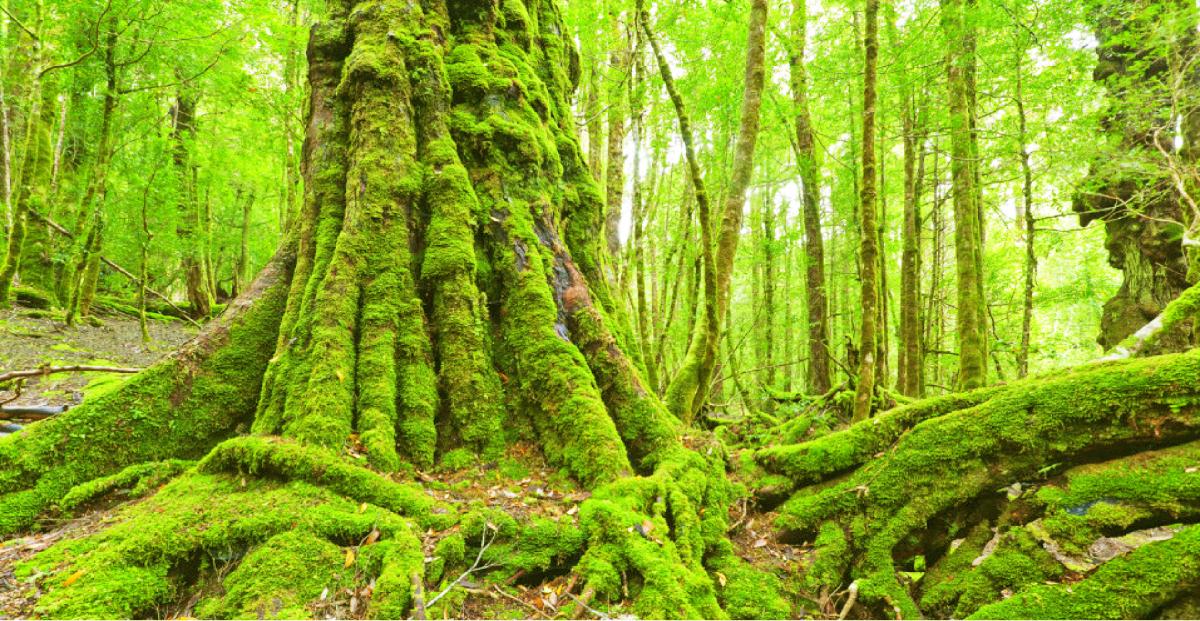 タスマニア島の太古の森