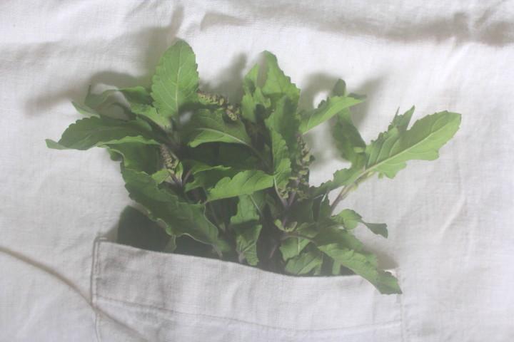 自然栽培クリシュナ・トゥルシー2