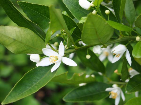 たんかんの花