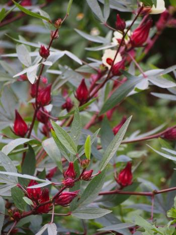 花が咲き終わると 萼と苞が赤く大きくなる