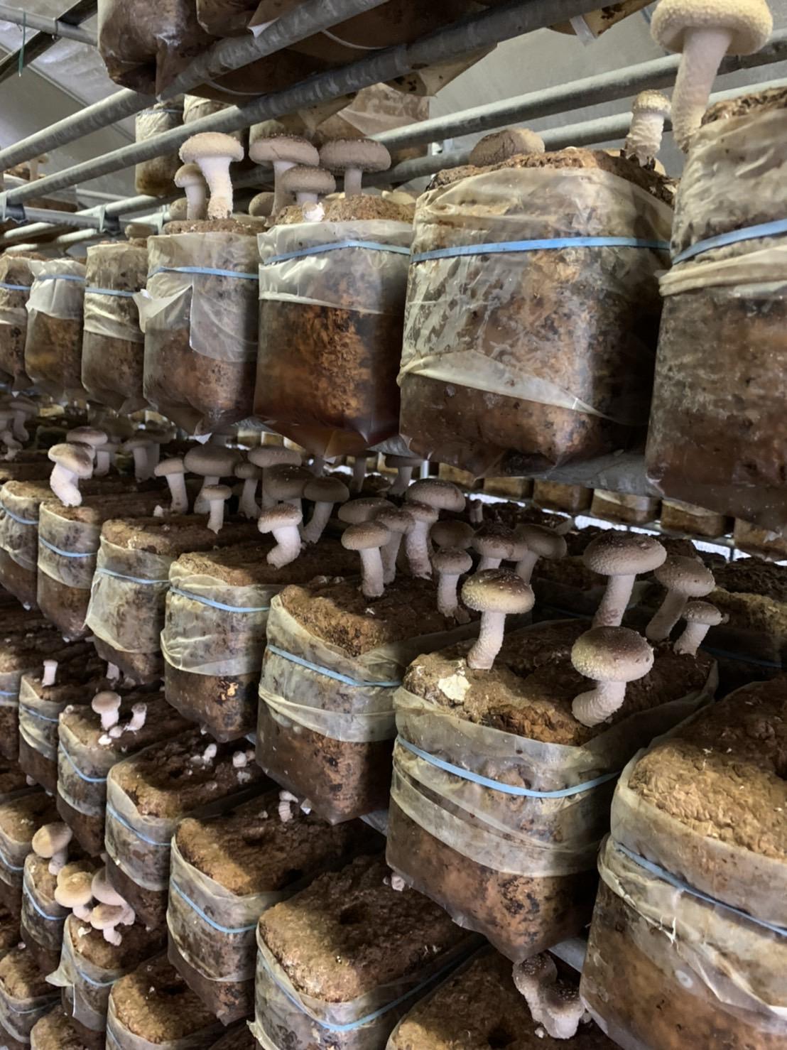 自社栽培した椎茸を乾燥させました