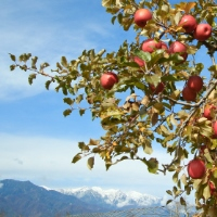 雪化粧のアルプスと林檎…これぞ松川の晩秋。松川町のホームページより
