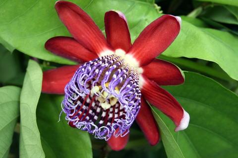 品種名:パッシフローラ アラタ ゴールデンリリコイ <br>&nbsp;Passiflora Alata 'Golden Lilikoi'