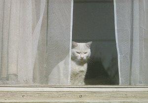 CAT POSTCARD オランダの家の窓からのぞく白猫 (目つきが少々悪いところがご愛嬌)