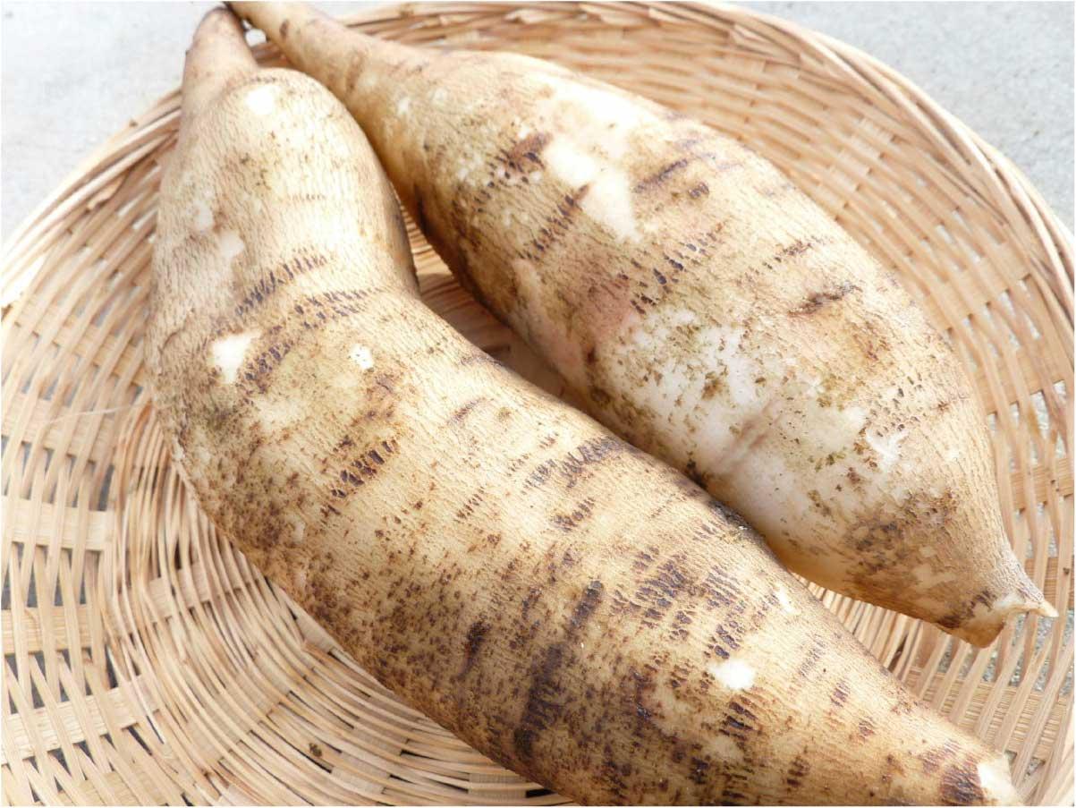 健康野菜と知られるヤーコン